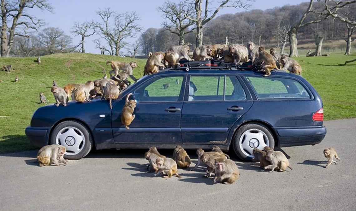 "Un Mercedes-Benz pe ""Planeta Maimuțelor"""