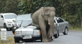 Atenție la elefanți! Un uriaș distruge un Mercedes!