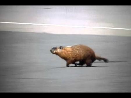 Marmota Canada